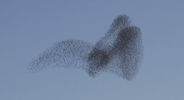 A popular theory is that starlings evolve flying as a tight flock for safety reasons. If they fly alone, they can end up being the target of some other predator. (Image: Vimeo/Screenshot)