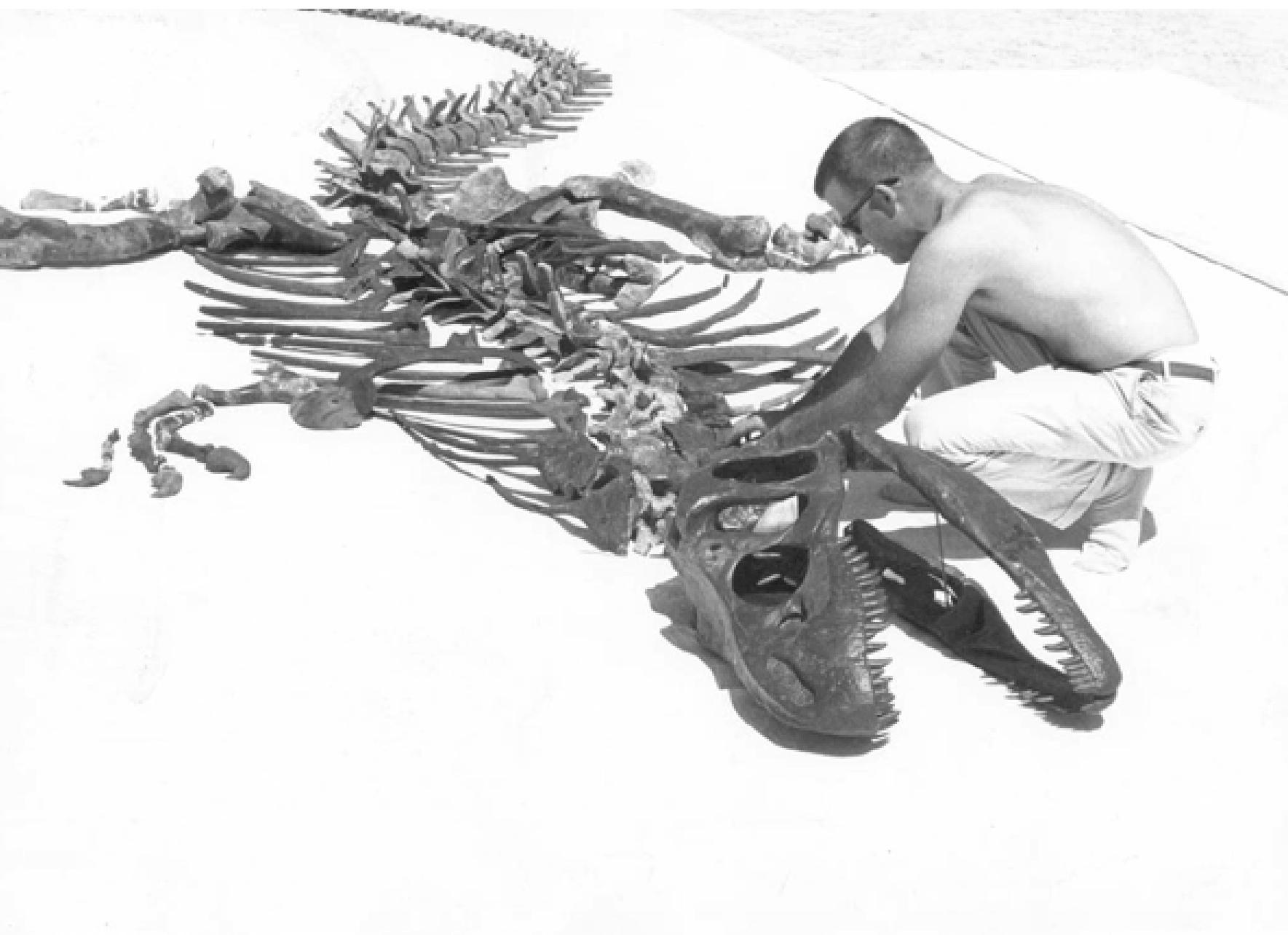 Paleontologist James Madsen Jr assembles a composite skeleton of Allosaurus from the Clevland Lloyd Dinosaur Quarry. (Image: J. Willard Marriot Library)