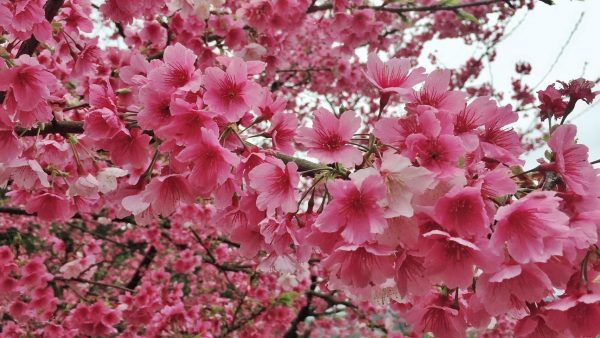 The Fuji cherry blossoms on Pingjing Street (平菁街) in Taipei City's Shilin District. (Image: Courtesy of Alice Chan)