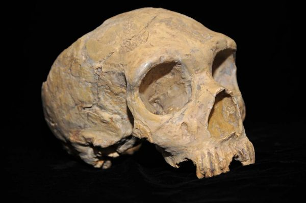 Neanderthal skull from the Forbes Quarry. (Image: AquilaGib via WikiCommons)