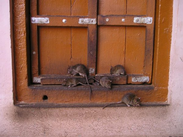 The entire northern part of China was infested with rats. (Image: maxpixels / CC0 1.0)