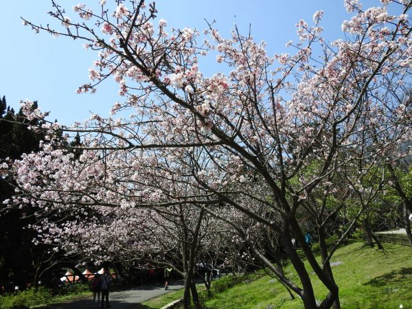 Cherry blossoms in Yangmingshan National Park. (Image: Billy Shyu / Visions Times)