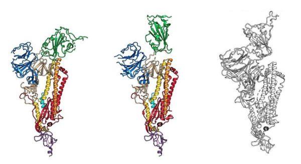 "The ""spike protein"" found in the SARS-CoV-2 coronavirus. (Image: Wrapp, Wang et al. / UT-Austin / NIH via Science / AAAS)"