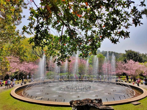 The fountain  in Yangming Park is surrounded by many cherry trees. (Image: Courtesy of Shieh Ching-Fu.)