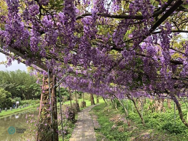 The wisteria tunnel along a small pond in the Wisteria Coffee Plantation's Shui Yuan Park. (Image: Julia Fu / Vision Times)