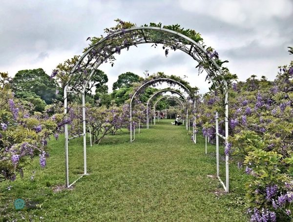 The wisteria trees in the Wisteria Coffee Plantation's Shui Yuan Park. (Image: Julia Fu / Vision Times)