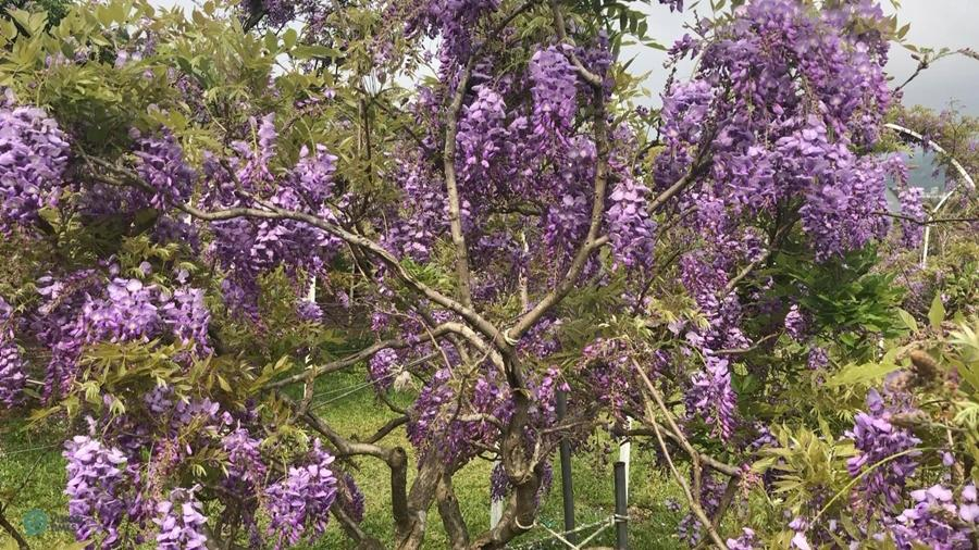 The beautiful wisteria tree at the Wisteria Coffee Plantation. (Image: Billy Shyu / Vision Times)