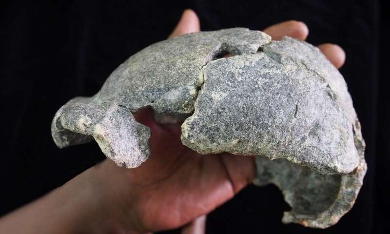 The DAN5 cranium. (Image: Dr. Michael J. Rogers, Southern Connecticut State University)