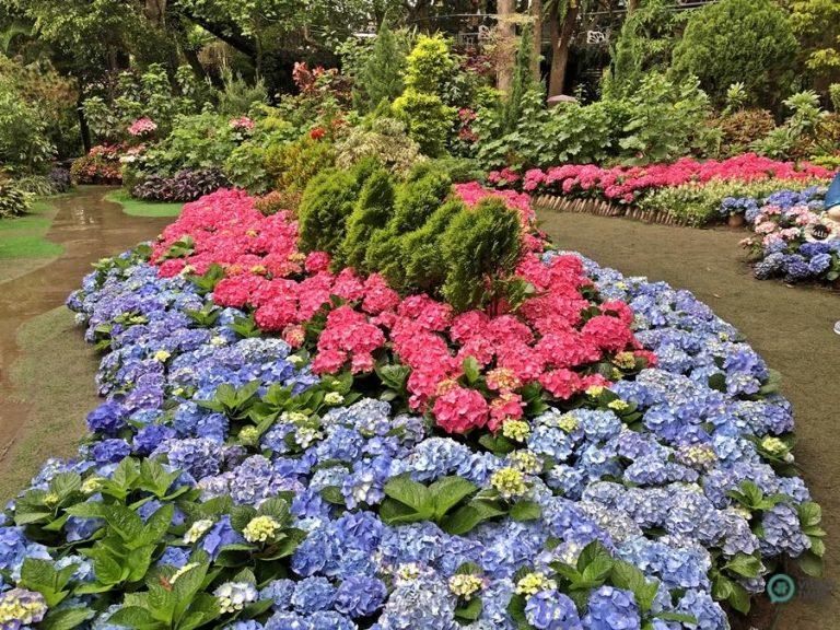 The stunning hydranea flowers in the Hydrangea festival. (Image: Julia Fu / Nspirement)