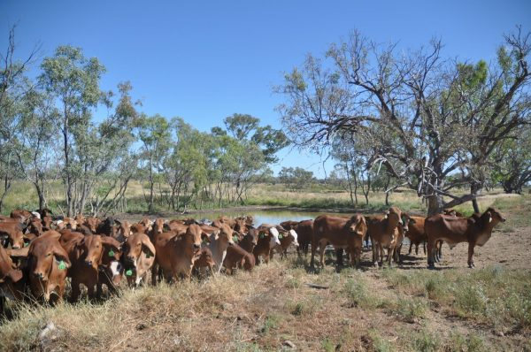 Yakka Munga Cattle Station in the Kimberley was acquired by Zenith, a Chinese company, which completely disregarded the eco system and with no permit or consultation with the local community, cleared 120 hectares of land, diverting rain water and starting excavation works. Image: https://pixabay.com/photos/animal-herd-nature-cattle-3292033/