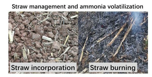 Straw management and ammonia volatilization. (Image: Zhou Minghua)
