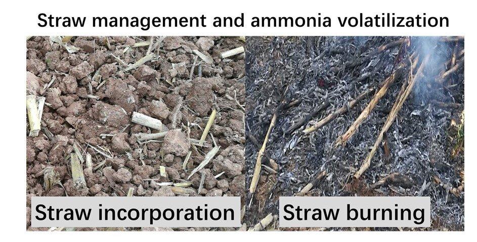 Straw management and ammonia volatilization. (Image: Zhou Minghua)