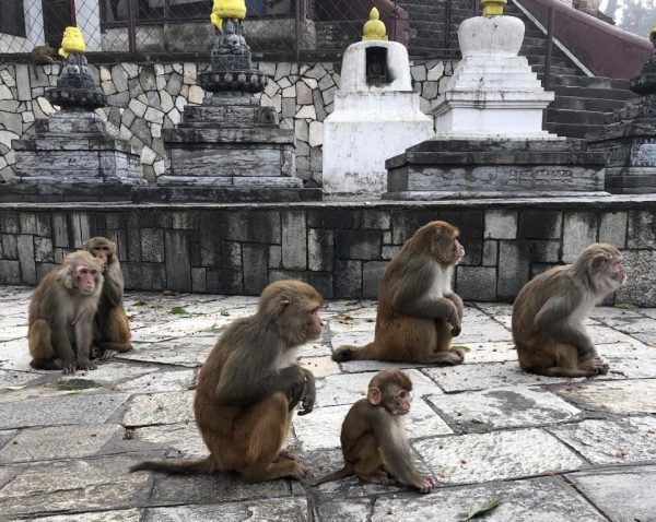 Rhesus macaques at Kathmandu, Nepal temple. (Image: Christine Kreuder Johnson/UC Davis)