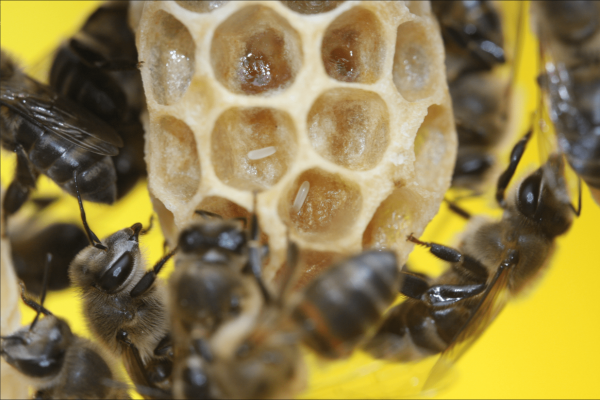 Cape honey bee workers laying parasitic eggs on a queen cell. (Image: Benjamin Oldroyd)
