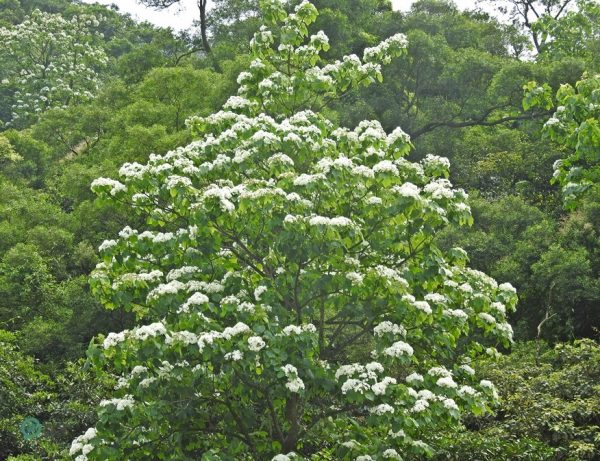 In April and May hills around the country turn white thanks to the Tung Blossoms. (Image: Billy Shyu / Vision Times)