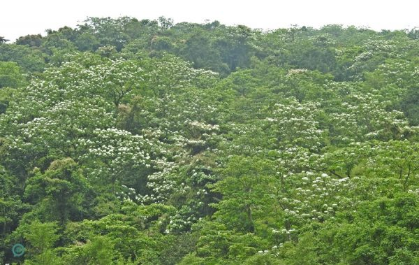 Hilltops in Taiwan are covered by snow-white Tung blossoms in early summer. (Image: Billy Shyu / Vision Times)