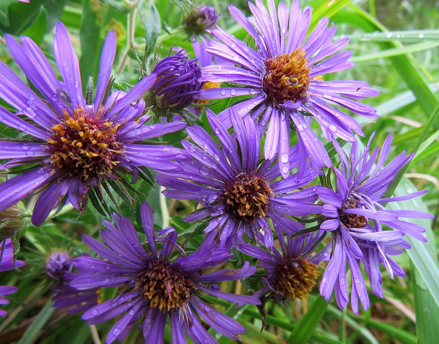 New England Asters are used to treat nosebleeds and mental disorders. (Image: Jessica Bolser/USFWS via Flickr CC BY 2.0 )