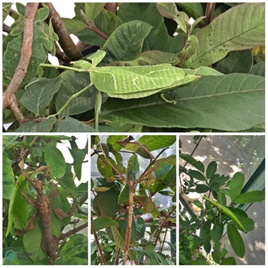 There are about ten species of domestic and foreign stick insects displayed in the Park. (Image: Billy Shyu / Vision Times)