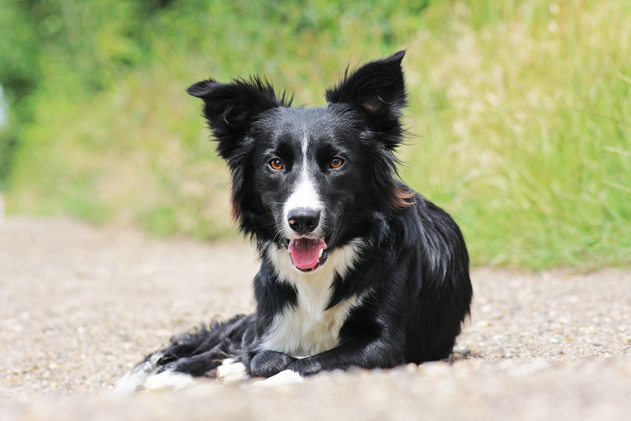 The honorable Lucy Lou, a sassy Border Collie had left office in November 2015. (Image: Pixabay / CC0 1.0)