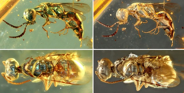 Comparisons between original and altered metallic colors in cleptine wasps (Image by NIGPAS)