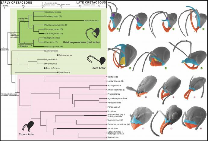 Above: Phylogeny and Cephalic Homology of Hell Ants and Modern Lineages. (Credit: NJIT, Chinese Academy of Sciences and University of Rennes, France)