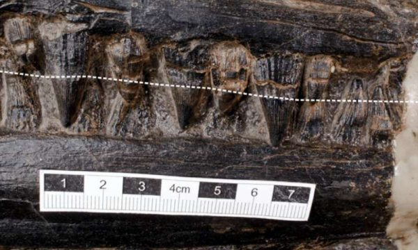 The ichthyosaur's teeth, with the broken white line indicating the approximate gum line of the upper jaw. (Credit: Jiang et al./iScience)