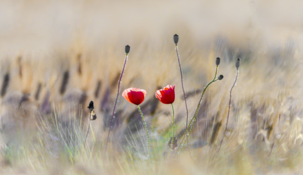 Poppies in a field.