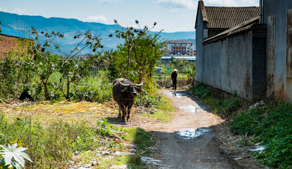 Water buffalo standing in a village in rural China.