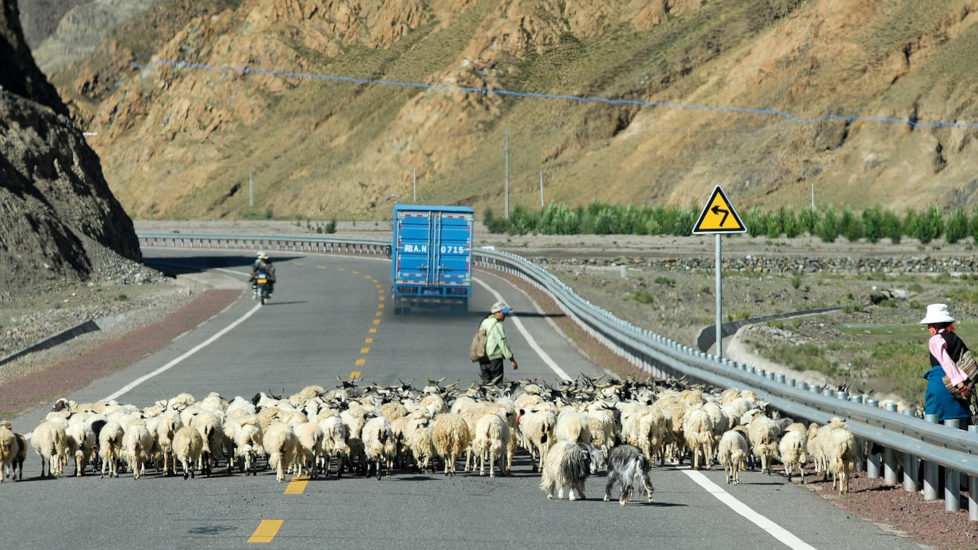 A herd of goats stand in the middle of a highway in Tibet.