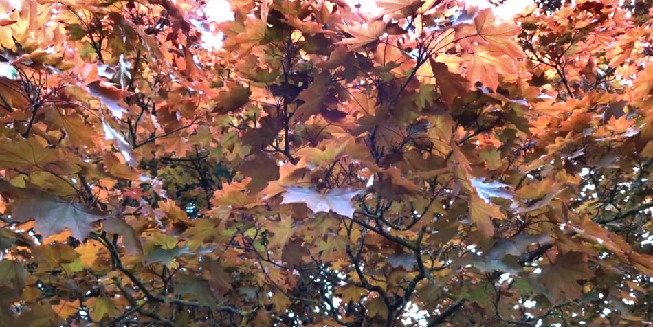 Looking up into the canopy of a Crimson King maple tree.