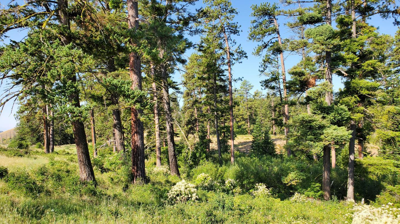 Ponderosa pine, Pinus ponderosa, and Douglas fir, Pseudotsuga menziesii. (Image: The authors)