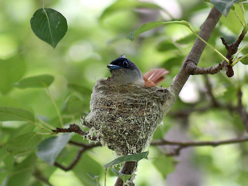 Asian Paradise Flycatcher nest