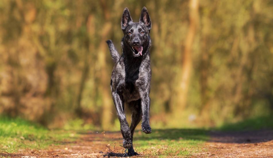 A black dog running outside