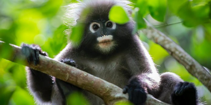 A little leaf monkey saves a village after a villager saved the monkey. (Image via pexels / CC0 1.0)