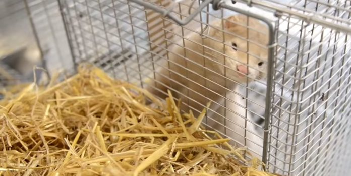 A white mink in a cage.