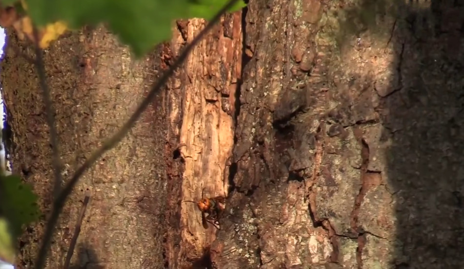 A murder hornet flies out of its nest in a tree.