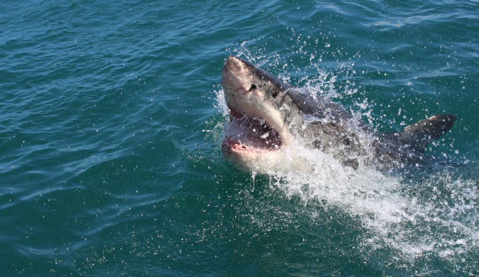 A shark surfaces from the ocean.