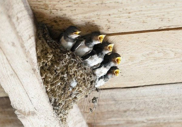 Five swallows in a nest.