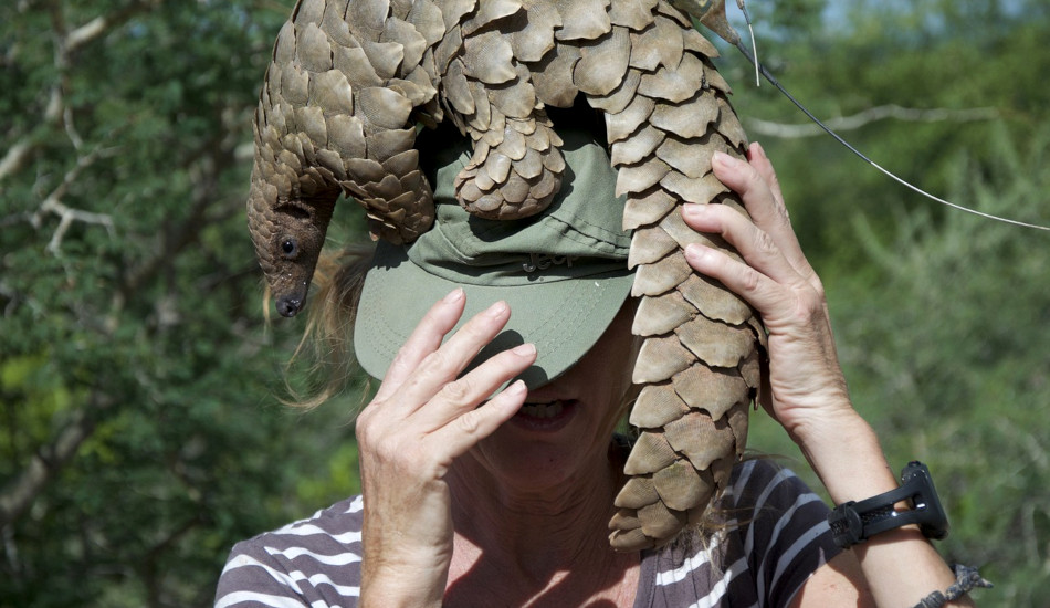 A Chinese pangolin on top of a woman's head.