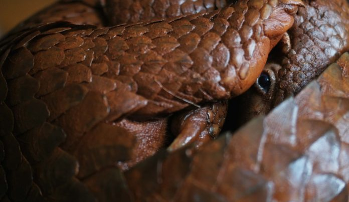 A pangolin curled up in a ball.