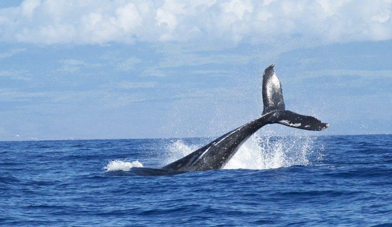 A whale diving