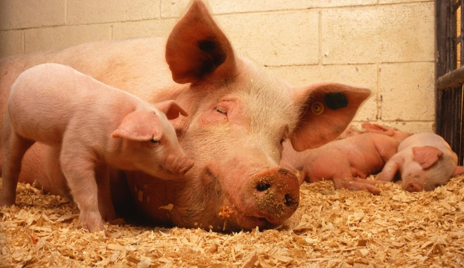 African Swine flu has caused a rise in pork prices