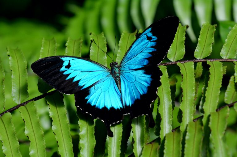Bright blue Ulysses Butterfly on green fern. Paying attention to your feelings, being generous ,cultivating calmness and using reason in your arguments will make your life much happier