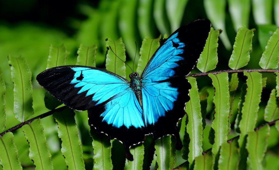 Bright blue Ulysses Butterfly on green fern.