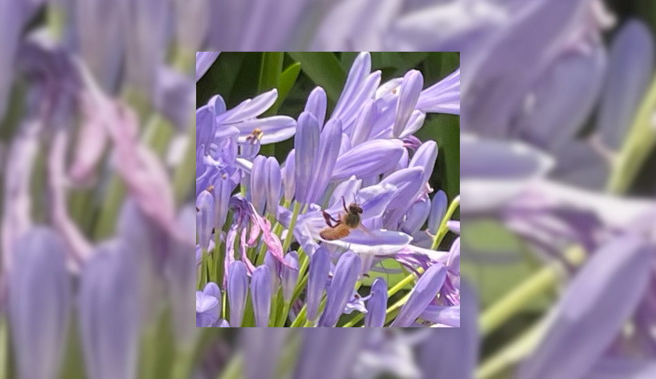 A honey bee climbing out of the purple agapanthus after collecting pollen.