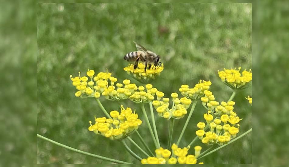 In Australia, the summer month of January, a honey bee collecting pollen from fennel flowers.