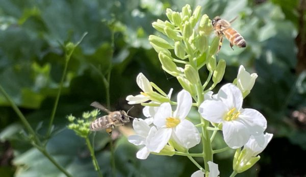 Honey bees are collecting pollen on Broccoli Kailaan, this is a Chinese Broccoli variety that grows all year in cooler climates.