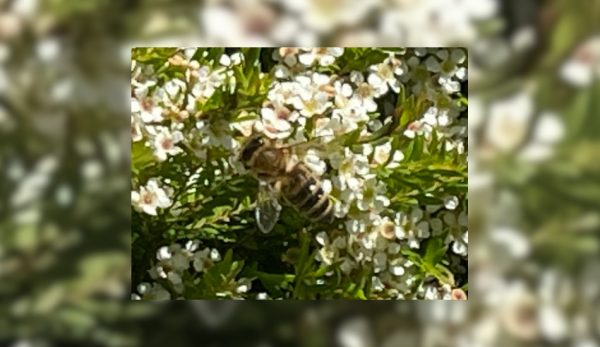 A honey bee collecting pollen from a white Australian wax flower.