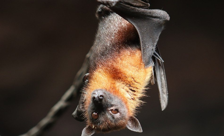 A bat hangs from a limb.