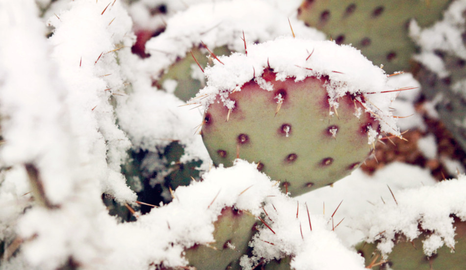 A cactus covered with snow.